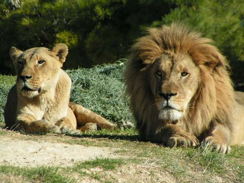http://www.camping-le-mediterranee.com/images/reserve-africaine/lion_lionne.jpg
